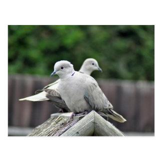 Collared dove pair postcard