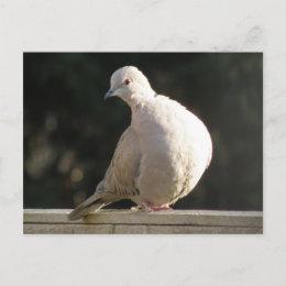 Collared Dove Postcard postcard