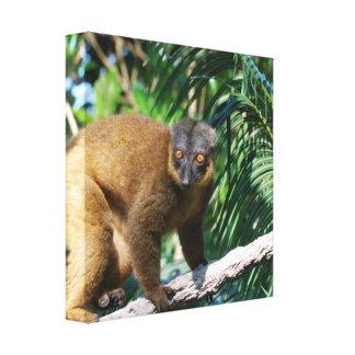 Collared Lemur Canvas Print