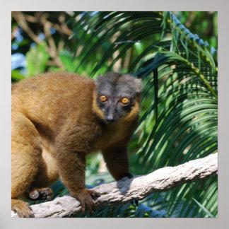 Collared Lemur Poster