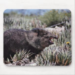 Collared peccary (javelina) yawning amid flowering mouse pad