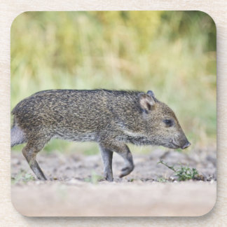Collared peccary juvenile drink coasters