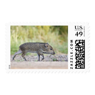 Collared peccary juvenile stamps