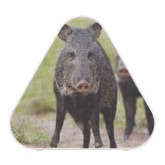Collared Peccary Pecari tajacu) adults, Santa Bluetooth Speaker
