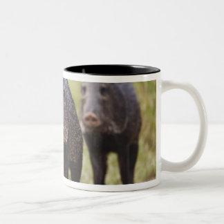 Collared Peccary Pecari tajacu) adults, Santa Two-Tone Coffee Mug