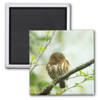 Collared pigmy owlet perching on tree branch, 2 inch square magnet