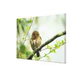 Collared pigmy owlet perching on tree branch, canvas print