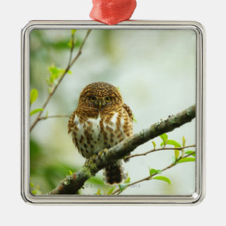 Collared pigmy owlet perching on tree branch, metal ornament