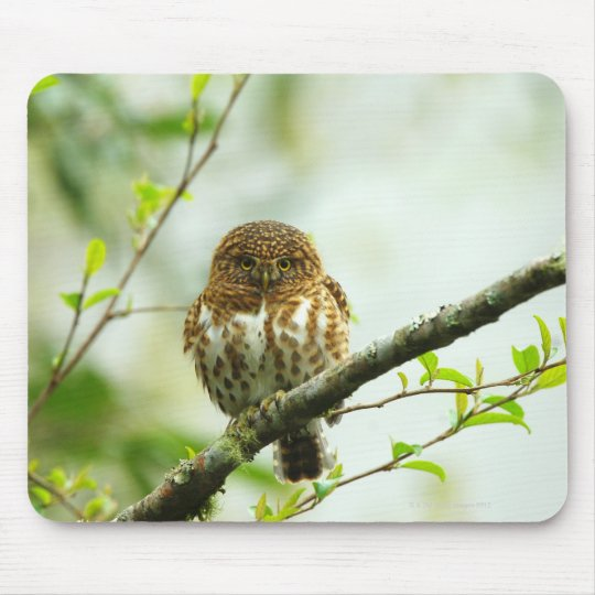 Collared pigmy owlet perching on tree branch, mouse pad