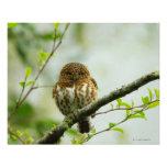 Collared pigmy owlet perching on tree branch, poster