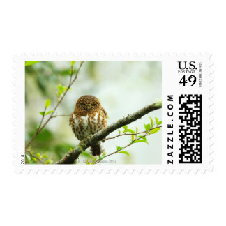 Collared pigmy owlet perching on tree branch, stamp
