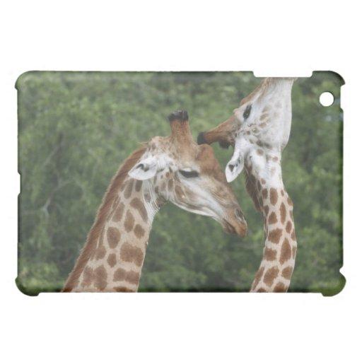 Collarino de dos jirafas (camelopardalis del Giraf
