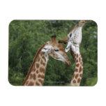 Collarino de dos jirafas (camelopardalis del Giraf Iman Rectangular