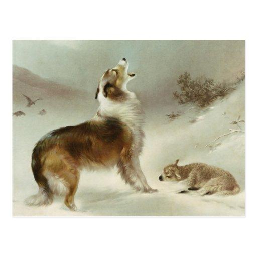 Collie and sheep postcard