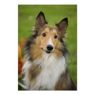 Collie áspero, perro, animal impresiones