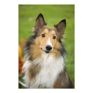 Collie áspero, perro, animal arte fotográfico