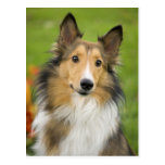 Collie áspero, perro, animal tarjeta postal