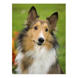 Collie áspero, perro, animal postal