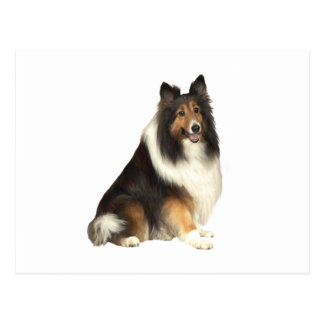 Collie - black, white and tan postcard