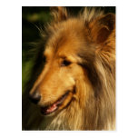 Collie Breed Postcard