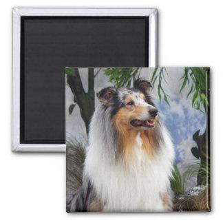 Collie dog blue merle fridge magnet, gift idea magnet