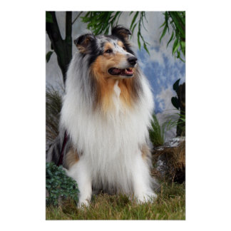 Collie dog blue merle, poster, print,  gift idea