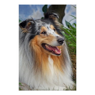 collie dog poster, print, gift idea