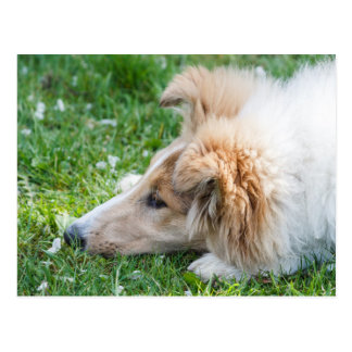 Collie puppy dog, cute rough collie dog face close postcard