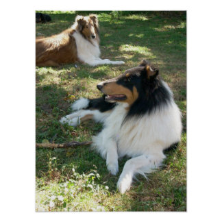 Collies At Rest -Poster