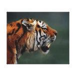 Colmillos de los tigres lona envuelta para galerias