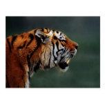 Colmillos de los tigres postal