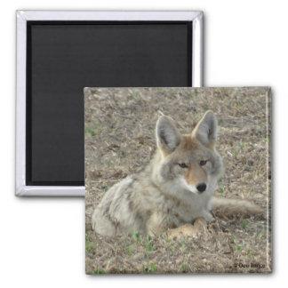 Colocación del coyote R0022 Imán Cuadrado