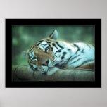 Colocación del tigre posters