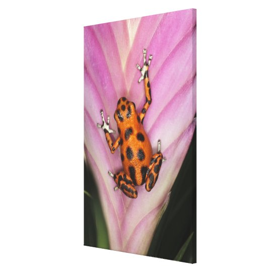 Colon Isle Dart Frog, Oophaga pumilio Canvas Print