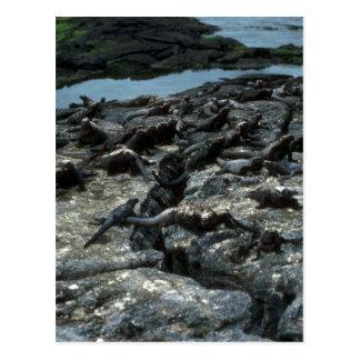 Colonia de la iguana marina postales