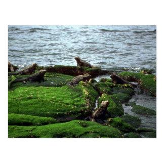 Colonia de la iguana marina tarjetas postales