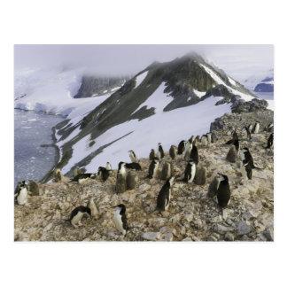 Colonia de pingüinos de Chinstrap Postales