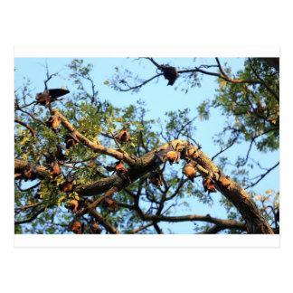 Colonia del palo de fruta del zorro de vuelo en ár postal