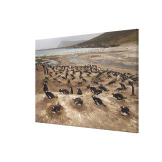 Colonia del pingüino de Gentoo (Pygoscelis Papua), Lona Estirada Galerías