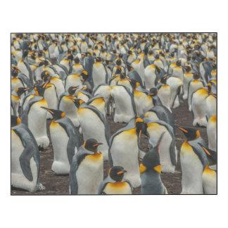 Colonia del pingüino de rey, Malvinas Impresión En Madera