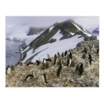 Colony of Chinstrap penguins Postcard