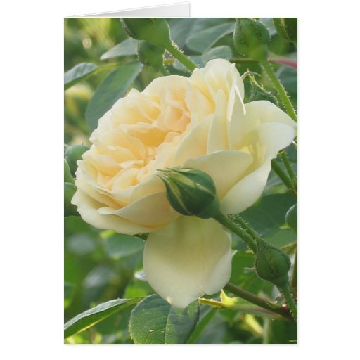 Color de rosa amarillo claro tarjetas
