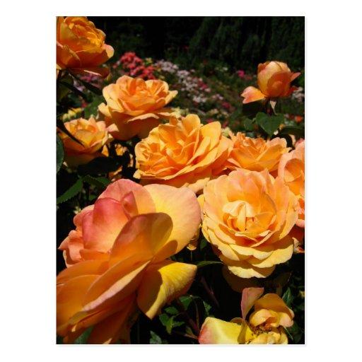 Color de rosa anaranjado * alegría tarjetas postales