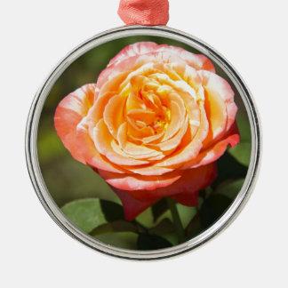 Color de rosa anaranjado con los bordes rosados ornato