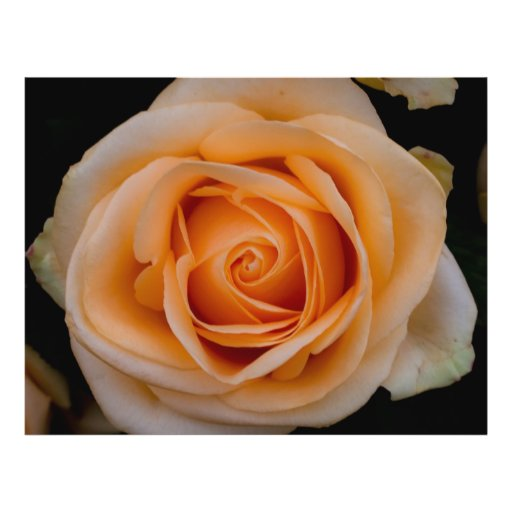 "Color de rosa anaranjado folleto 8.5"" x 11"""