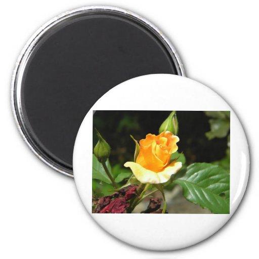 Color de rosa anaranjado imán redondo 5 cm