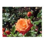 Color de rosa anaranjado postal