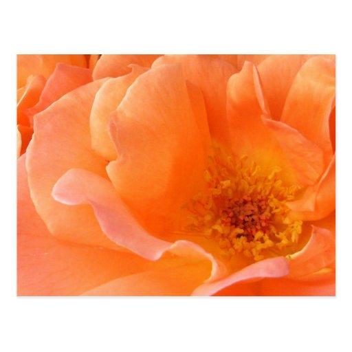 Color de rosa anaranjado postales