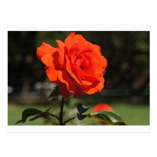 Color de rosa anaranjado tarjetas postales