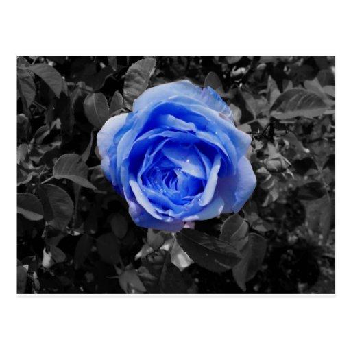 Color de rosa azul tarjetas postales
